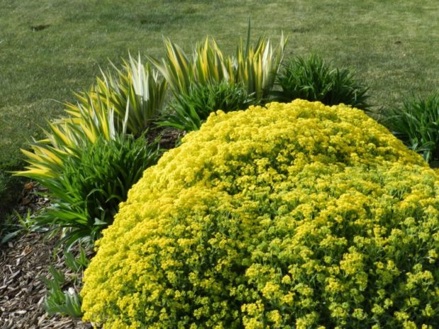aurina basket of gold - rock garden perennials