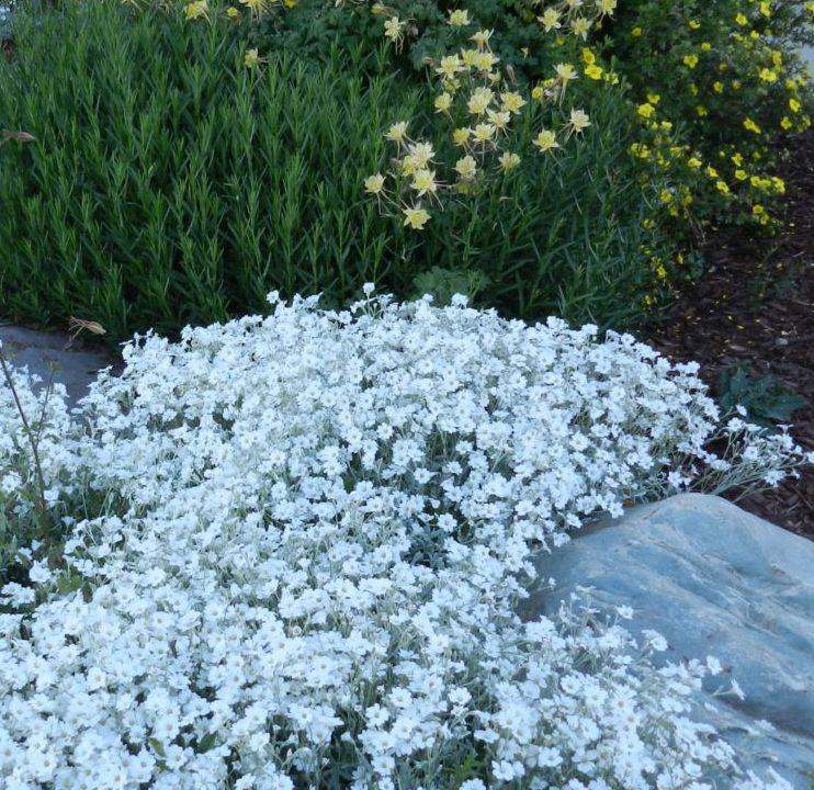 cerastium snow in summer - rock garden perennials