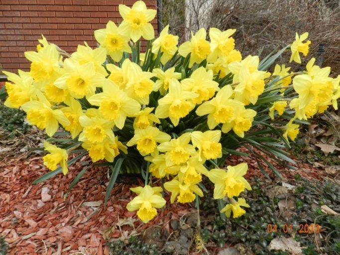daffodils long-lived perennials