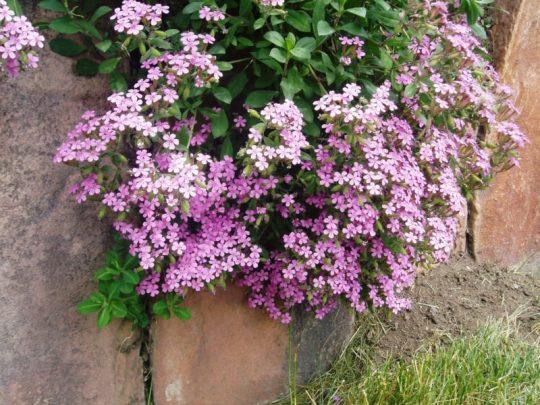soapwort - rock garden
