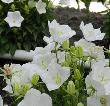 campanula - bellflower