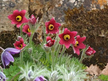 alpine perennials pulsatilla