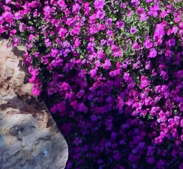 alpine perennial rock cress aubrieta