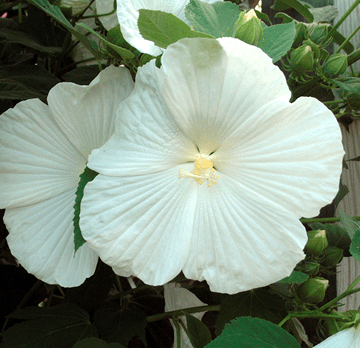 White perennials the brightest color in the garden powerful white hibiscus mightylinksfo
