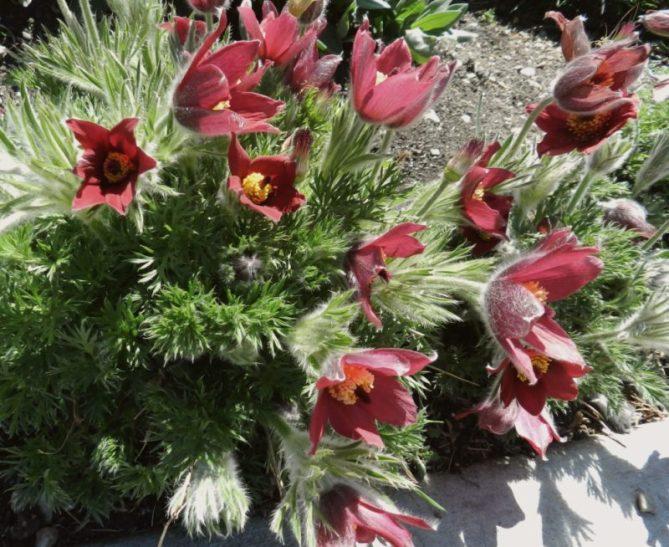 pulsatilla rock garden gritty soil