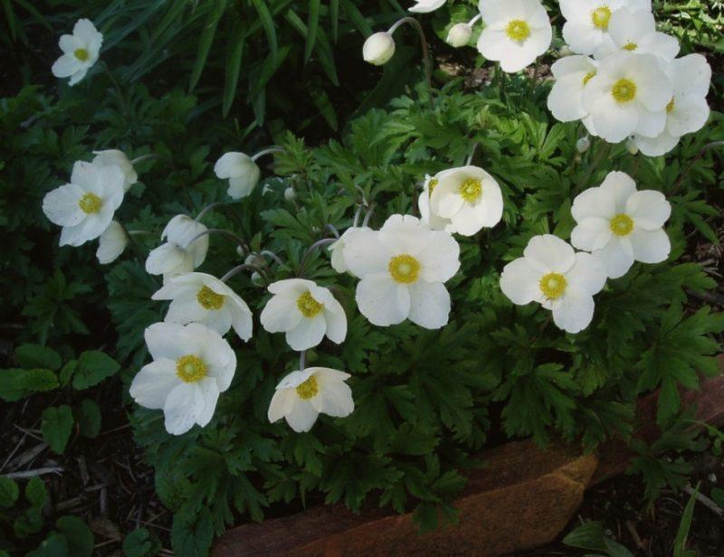 Snowdrop Anemone Anemone Sylvestris Powerful Perennials