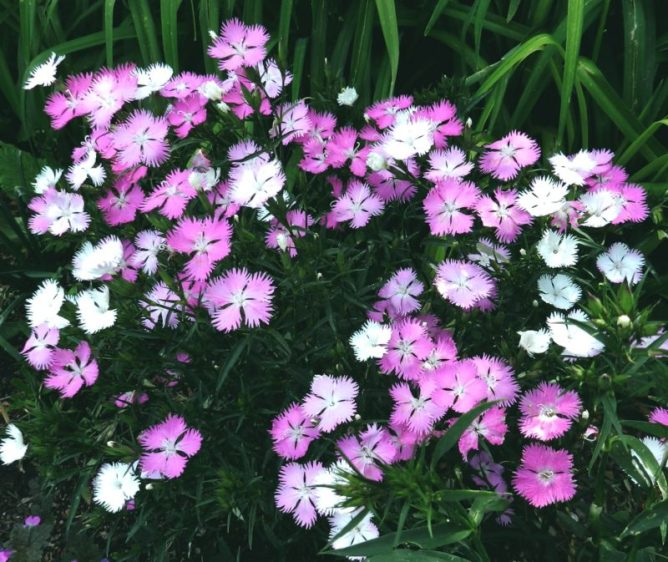 dianthus first love