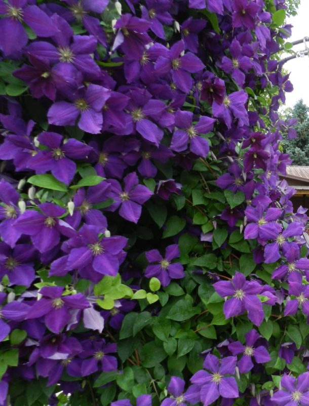 Clematis a favorite spring blooming vine powerful perennials clematis jackmani mightylinksfo