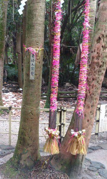 青島神社-夫婦ビロウの木