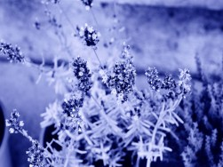 Cyanotype Photography [pt.9] (1)