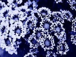 Cyanotype Photography [pt.9] (2)