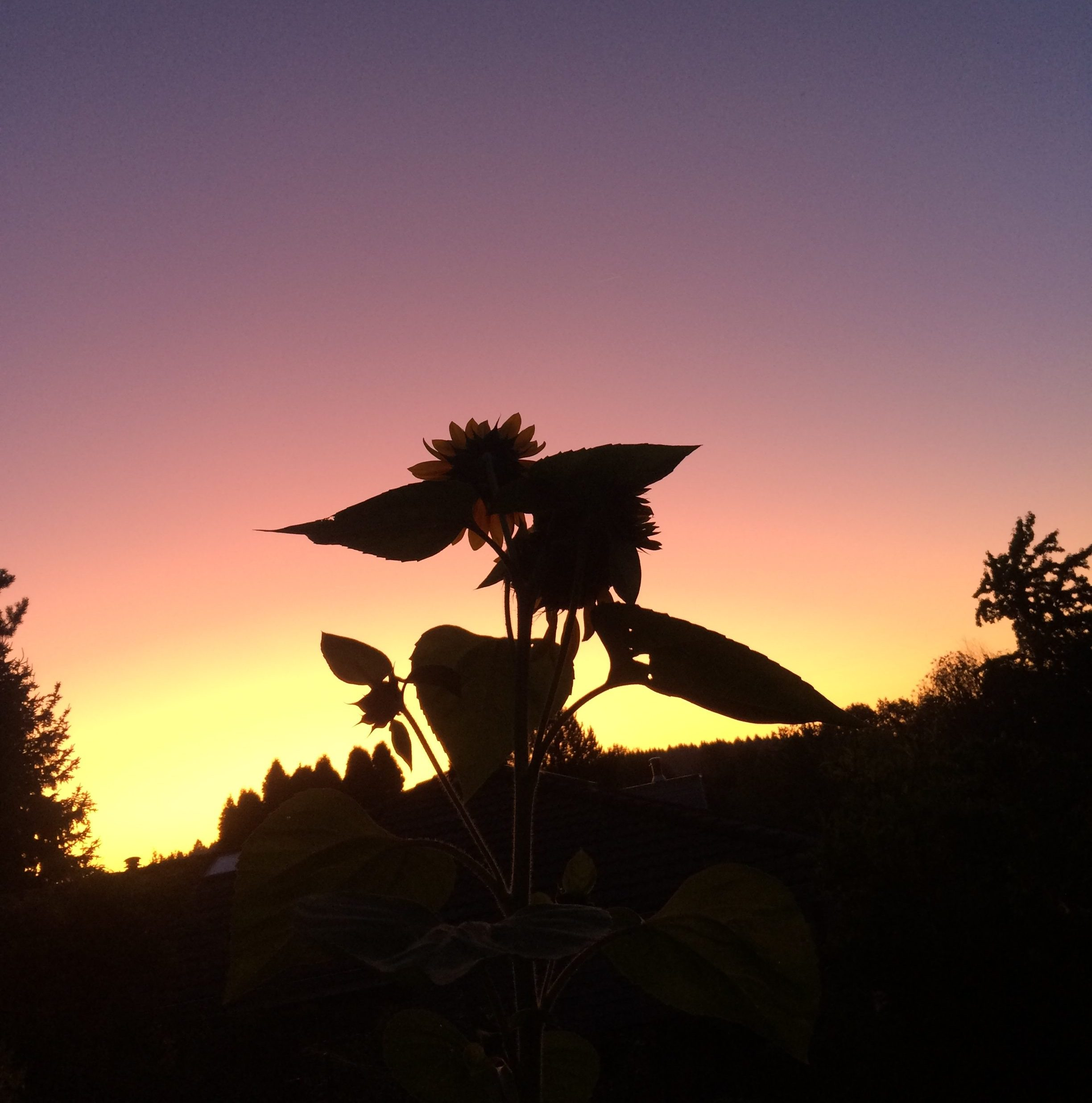 Sunflower Sunrise