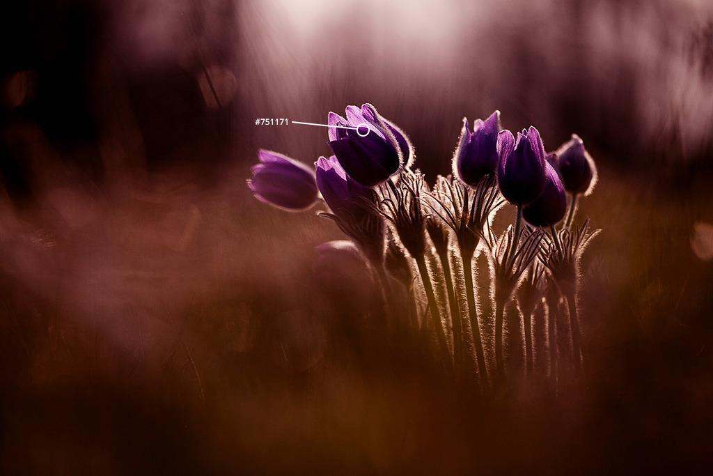 Pasqueflowers by Yulia Vtyurina