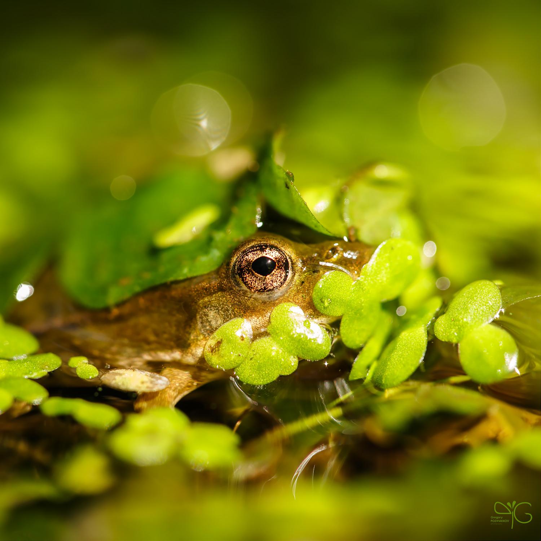 Глазик лягушки