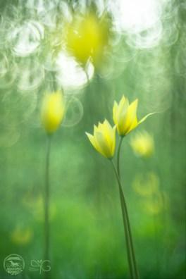 Тюльпан Биберштейна в лесу