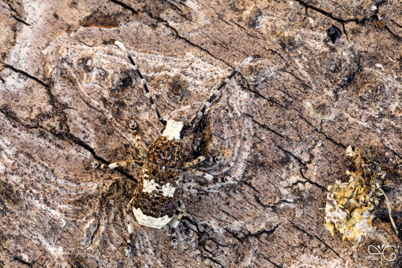 Ложнослоник беловатый, Platystomus albinus