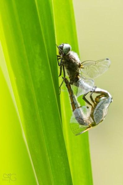 Cпаривание стрекоз Libellula depressa