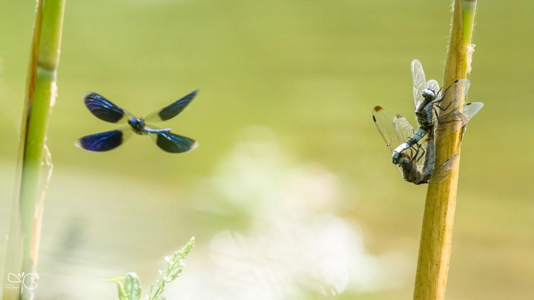 Синий вуайерист (♂ Calopteryx splendens и пара Libellula depressa)