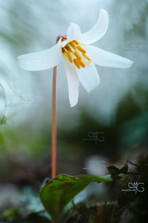Кандык кавказский, Erythronium caucasicum