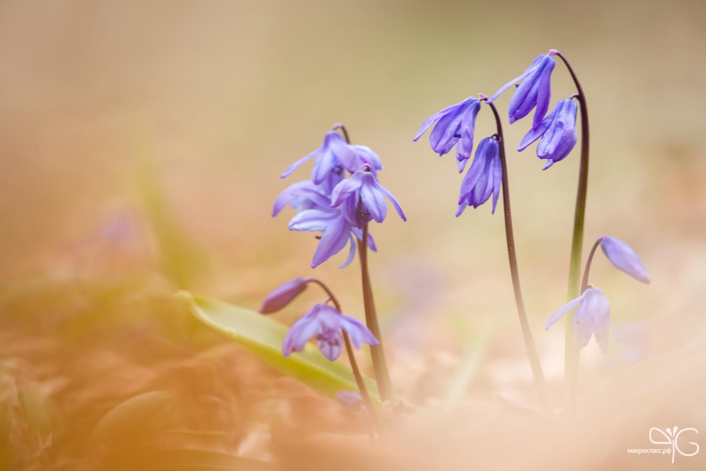 Насыщенного цвета пролески в весеннем кавказском лесу