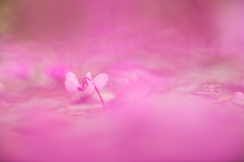 Цикламен в розовых облаках (поздравление)