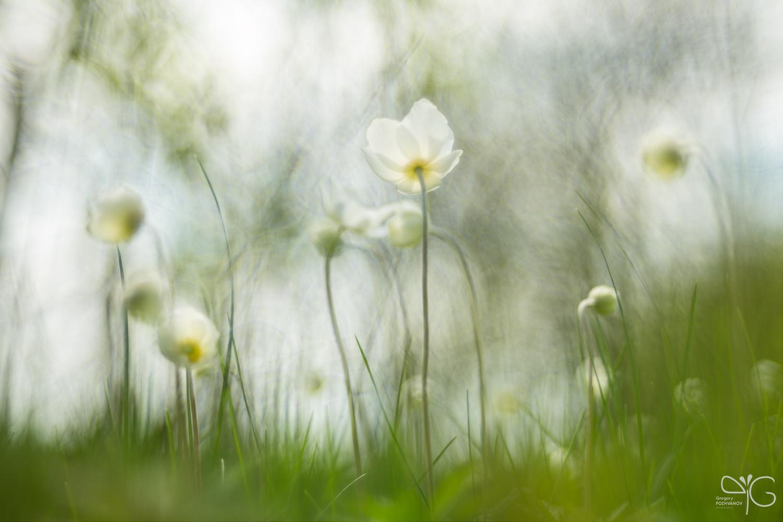 Ветреница дубравная (Anemone nemorosa) под пологом весеннего леса, Дивногорье