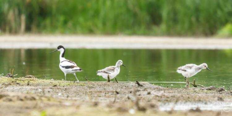 Шилоклювка с птенцами | Pied avocet with chicks, Recurvirostra avosetta