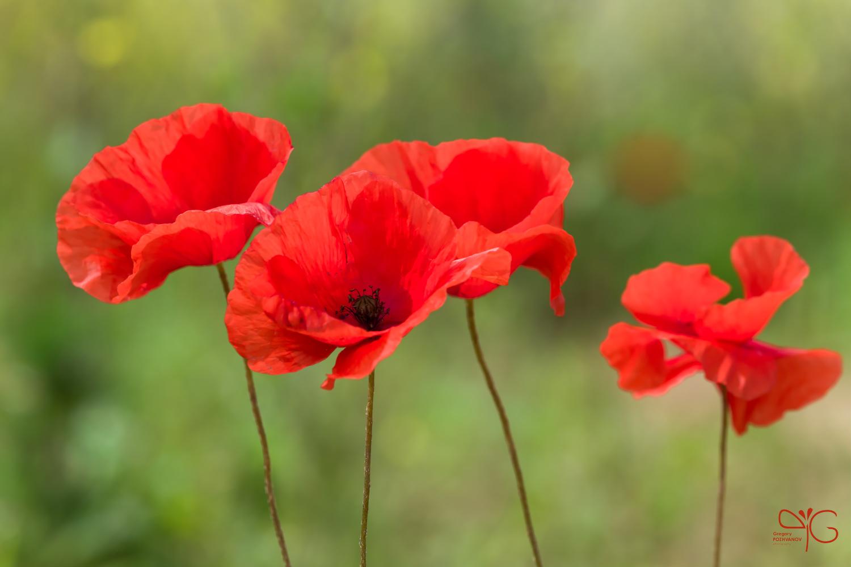 Цветки мака | Poppy flowers