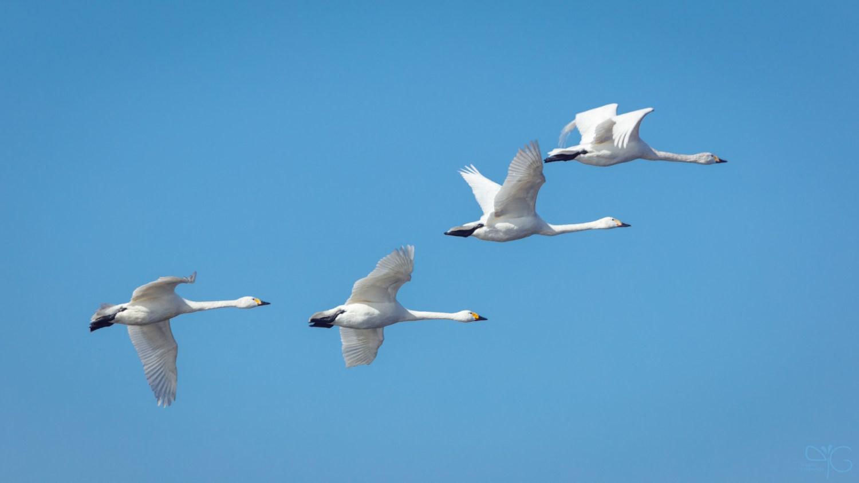 Летящие лебеди-кликуны
