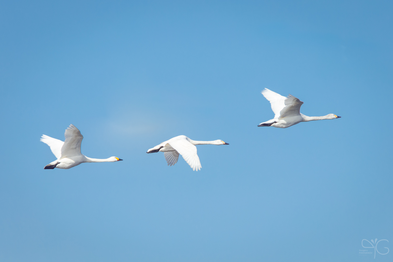 Лебедь-кликун Cygnus cygnus