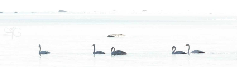 Лебеди-кликуны ранним утром