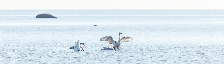 Лебедь-кликун раскрывает крылья