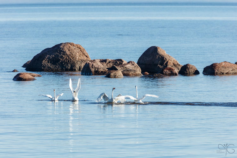 Лебеди у каменной гряды