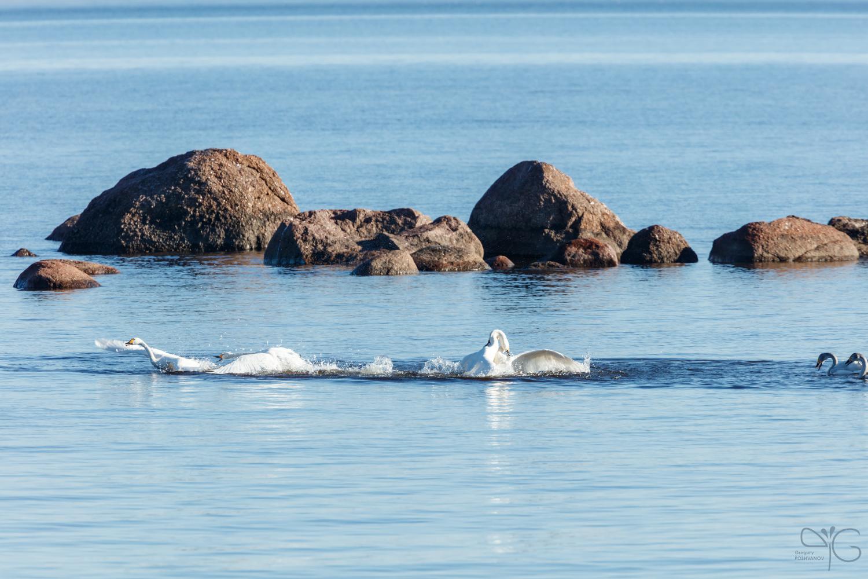 Лебедь пытается схватить другого сзади