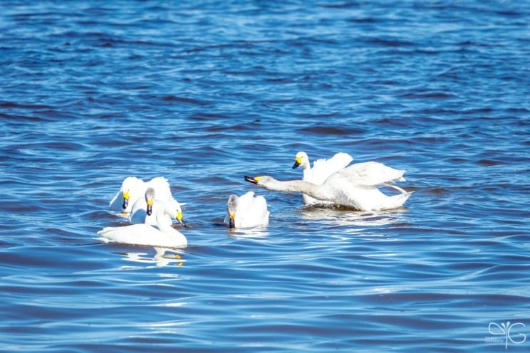 Стычка лебедей-кликунов