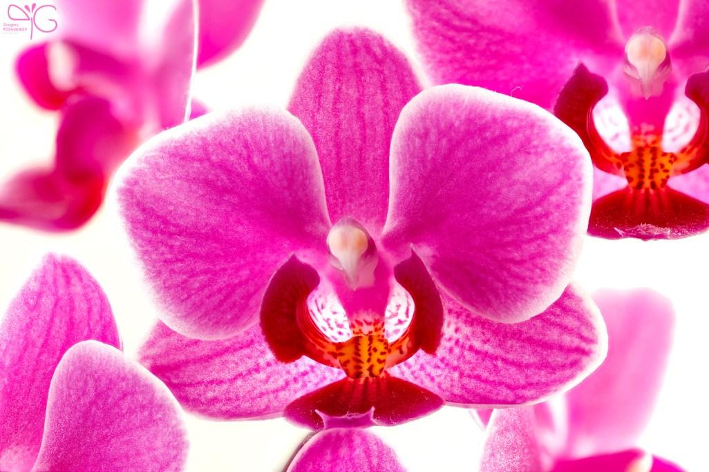 Flowering Phalaenopsis sp. orchid