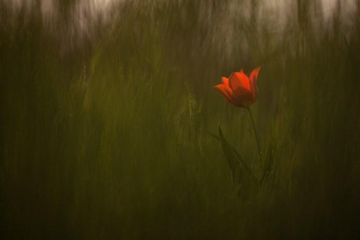 Тюльпаны в Калмыкии. Фото Юлии Втюриной