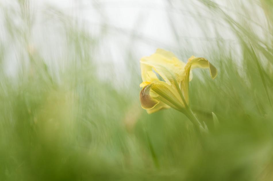 Iris sp., Калмыкия. Фото Юлии Втюриной