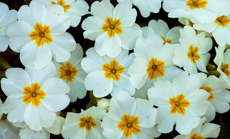 Юлия Втюрина   Primula sibthorpii