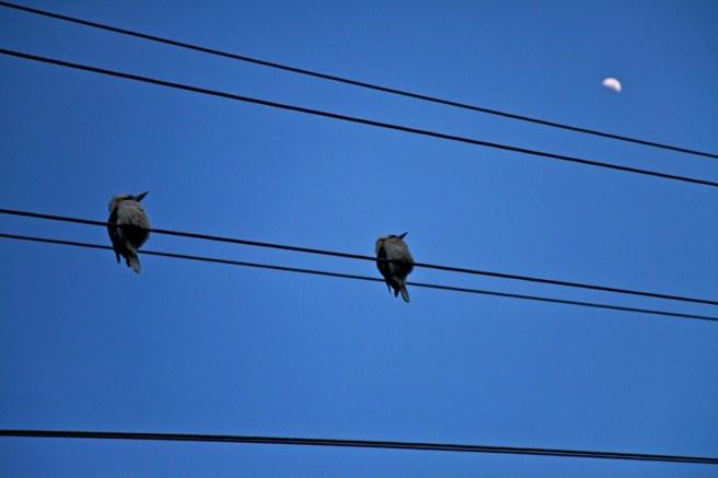Брачные игры птиц оставили без света тысячи домов в Австралии