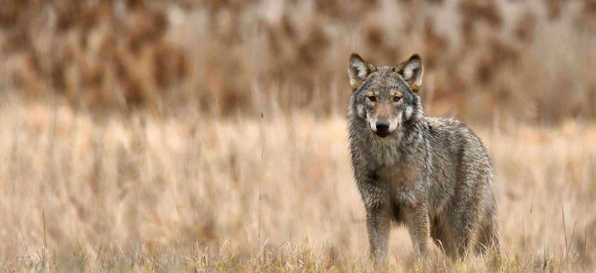 O WILKU MOWA! – Czy wilki w okolicach Poznania stanowią dla nas zagrożenie?