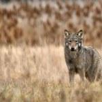 O WILKU MOWA! – Jak duże zagrożenie stanowią dla nas wilki w okolicach Poznania?