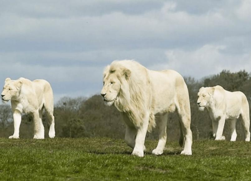 Взрослый белый лев