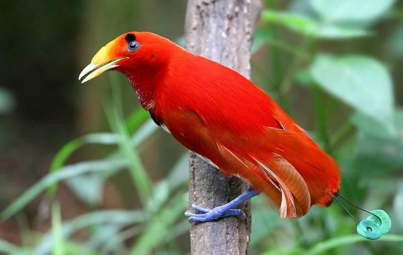 Красная райская птица.