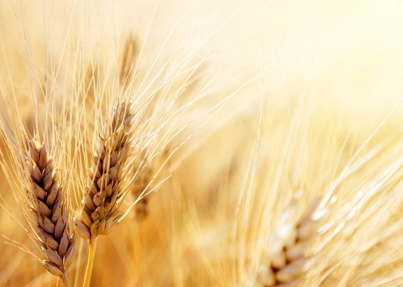 В состав большинства зерновых культур входит глютен. Фотоисточник