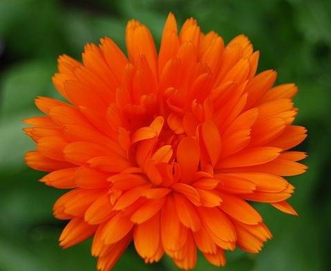 Чем ярче цветок календулы - тем больше от него пользы