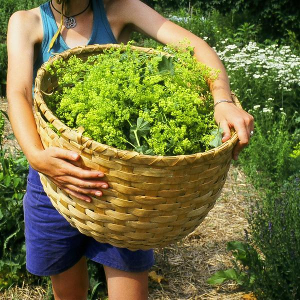 Манжетка трава для женского здоровья