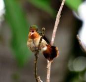 ♀ Coqueta Abanico Canela, Coquette huppe-col (Lophornis ornata)
