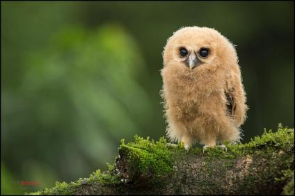 Mottled Owl (Ciccaba virgata) juvenile perched on a mossy branch at the highlands of Costa Rica. Foto de Chris Jiménez