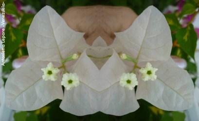 Foto® Antonietta Lepore (Venezuela): Trinitaria ( Bougainvillea spp.) en imagen espejo obteniendo un resultado... para interpretar libremente.